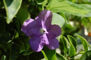 わが家の花。白と紫が咲いています。これは紫ヴァージョン。名前不明。
