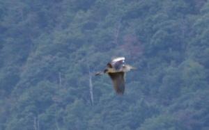 なんだろ、このトリ。サギのように全体が白くない。羽は濃い茶色?