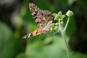 この蝶々は、これから密をすうのでしょうか?