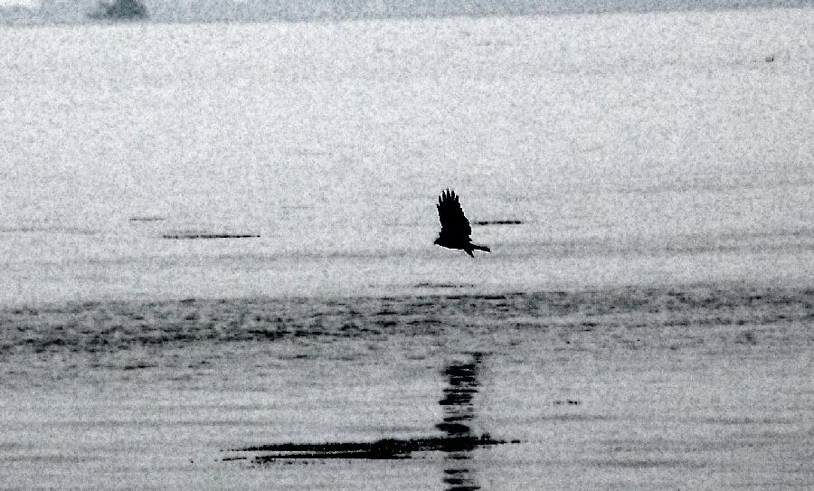 湖面を飛ぶトビ