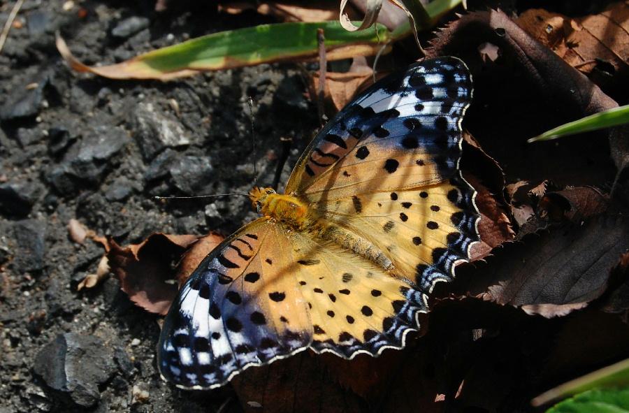 ツマグロヒョウモン(褄黒豹紋)Argyreus hyperbius