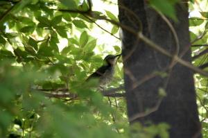 近くの枝にきたヒヨドリ
