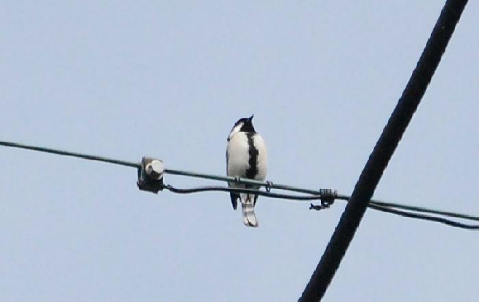 高い電線で仲間と鳴き交わすシジュウカラ。空飛ぶペンギンに見える。