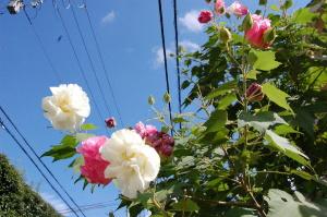 伸びやかに生えるバラ