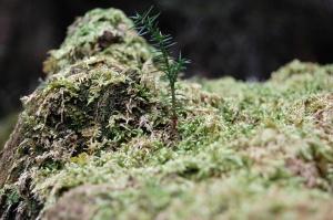 杉の大株に着生した新しい杉