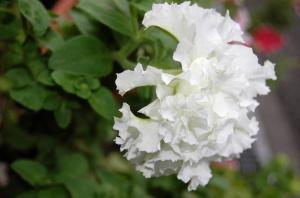 花壇に咲いていた白い花
