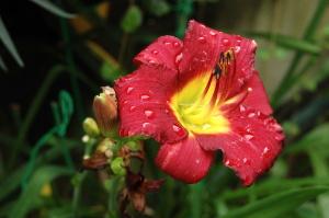 雨に濡れた紅い花