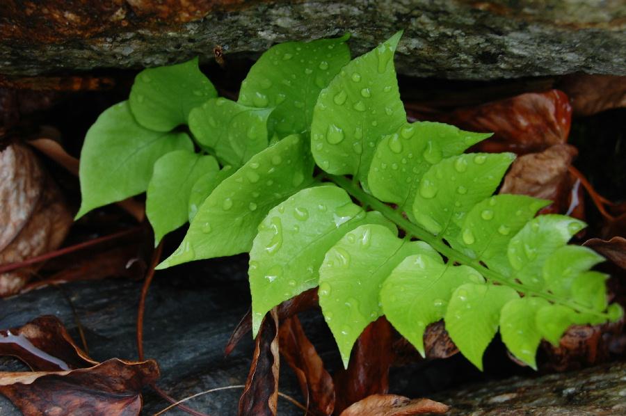 新緑の美しさは雨に濡れるといっそう引き立ちます