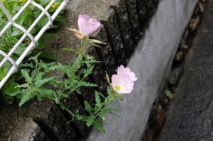 ピンクの花ですが、なんの花なんでしょうか?