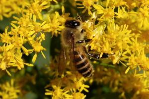セイダカアワダチソウにハチ