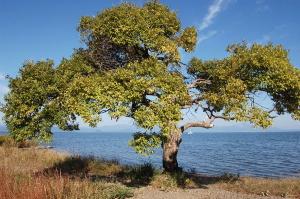 琵琶湖岸の木