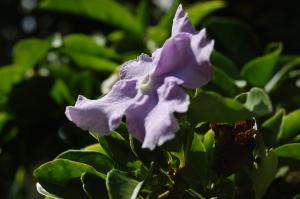 わが家の角先の花。白色と薄紫の花が咲いています。名前教えてください。