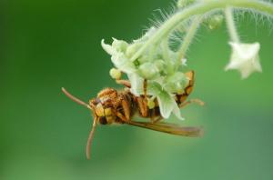花粉を顔につけたハチ