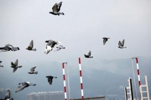 いっせいに飛ぶハトの群れ