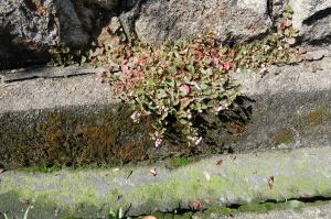 住宅街の溝にみえる小さな花(見えますか?)