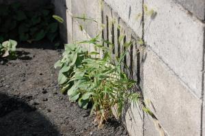 この雑草にも「狗尾草」というりっぱな名前がある