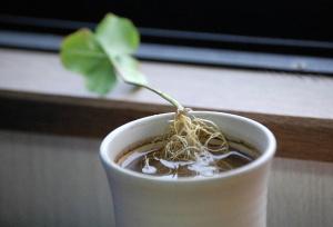 四つ葉のクローバー、茎のしたから根が生えていました