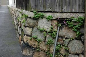 カタバミが飾る路地の石垣