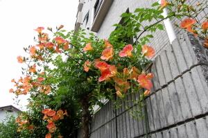 夏ですね、この花の枝がいつも揺れています。
