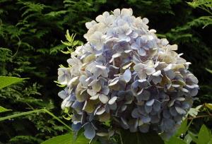 アジサイの花の塊