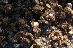 ドングリの実と殻