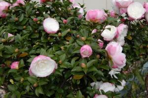いつのまにかピンクの花に