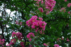 曇り空が残念でした、鮮やかなピンクの百日紅