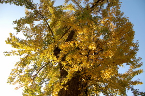 青い空に銀杏の黄色、古木に生気がよみがえっています